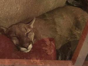 美洲狮闯民宅居然睡着 女子看这一幕6小时结局很意外