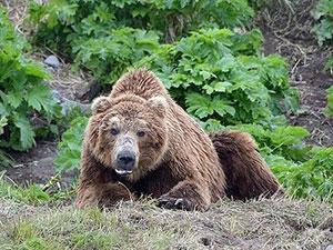 俄公墓遭棕熊洗劫 背后原因及事件经过被揭现场令人震惊