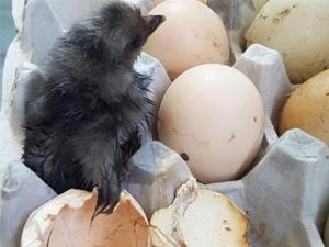 """鸡蛋放阳台孵出鸡 男子惊喜将其视为""""家人""""并取名"""