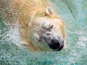 北极熊伤人遭射杀怎么回事 北极熊为什么无端端伤人