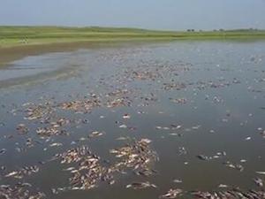 20万斤鱼被热死 水温度达40摄氏度漂满死鱼损失百万