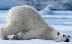北极熊或将灭绝 高温天气影响着各种生物的生存