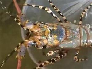 3公斤龙虾估价数十万 为什么该龙虾估价如此昂贵