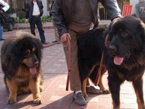 拼车拼到两条大狗 一路听着狗吠声吓得三人