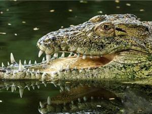 印度鳄鱼惨遭毁容 毁容过程曝光活久见竟是打架所致