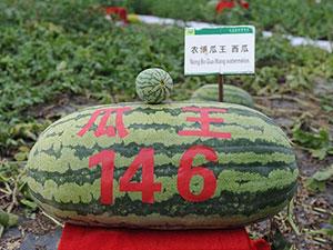 146斤西瓜引关注 146斤巨无霸西瓜原来是这样种出来的