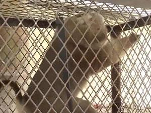 """猴子私闯民宅被抓 不好好当猴做""""小偷""""品种不简单"""