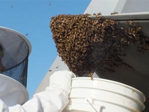 2万蜜蜂霸占飞机 曝事件详情及原因现场画面令人瞠目