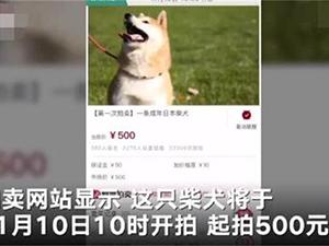 拍卖柴犬为主人抵债怎么回事 前因后果曝光这处细节引热议