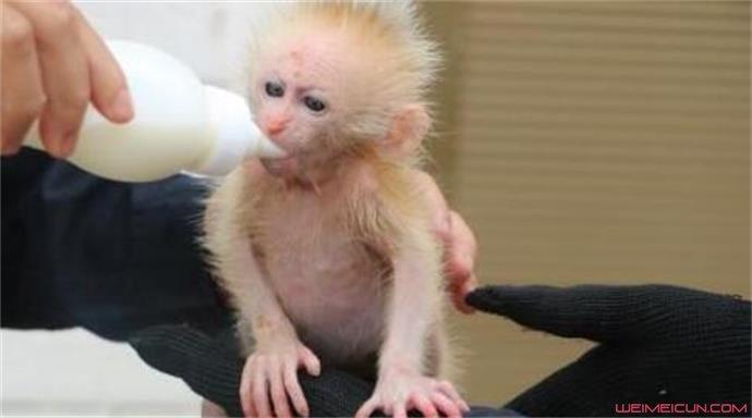 给幼猴喂奶