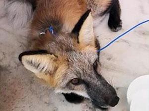 2岁狐狸居民楼串门怎么回事 2岁小狐狸是从