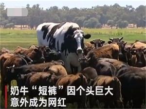 体型太大被屠宰场拒收 奶牛身高近2米被拒逃过一劫