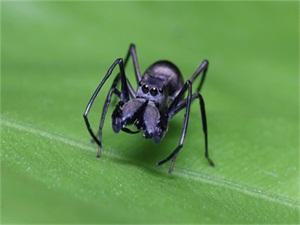 蜘蛛哺乳行为怎么回事 蜘蛛竟也有乳汁且蛋白质含量比牛奶高