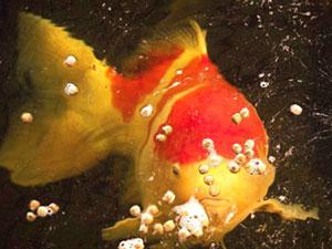 100万拍下锦鲤鱼王什么情况 锦鲤鱼王为什么