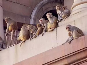 5000只猴子横行印度街头咋回事 猴子是从哪