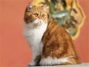 故宫御猫鲁班是什么猫 故宫御猫鲁班可爱至