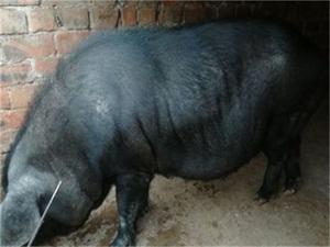 中国土猪濒临灭绝怎么回事 仅剩一百头左右比熊猫还稀少