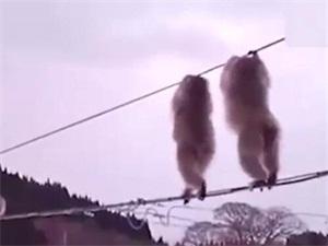 日本猕猴集体走电线 呆萌可爱像是在马戏表演始末曝光