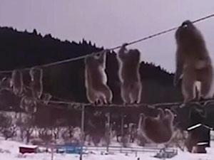 猴子排队走电线啥情况 现场一幕令人惊呆另类走法原因曝光