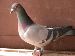 偷40只信鸽涮火锅怎么回事 男子报复搞错对象鸽子更可怜