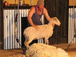 薅羊毛买牛奶是怎么回事 男子薅羊毛烫了手