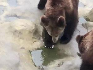 游客误将手机投喂棕熊 详情经过曝光两棕熊