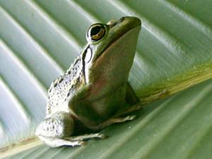 青蛙成濒危物种怎么回事 没想到背后原因系