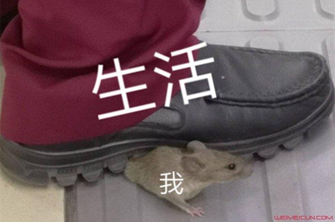 一只老鼠笑翻网友