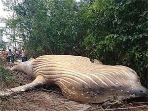 巴西惊现头鲸尸体 尸体距离海边15米它是怎么到这里来的