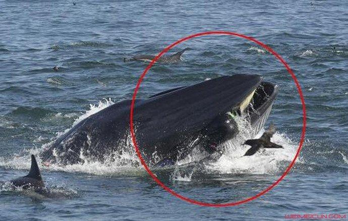 潜水员被鲸鱼吞入