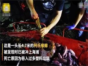 鲸鱼胃中发现塑料怎么回事 鲸鱼胃中发现40公斤塑料始末