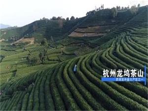 明前龙井5000一斤 采茶工每小时掐8000次令