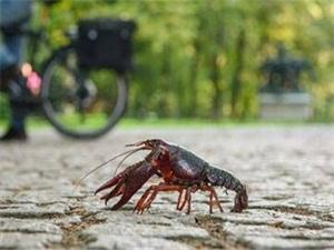 德国小龙虾泛滥成灾 小龙虾跑上街一幕令人瞠目结舌