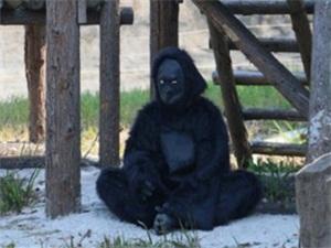 猩猩请假了吗 动物园里猩猩竟是人扮的怎么回事