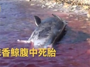 怀孕巨鲸尸体塞满44斤塑料 胎儿死于腹中流