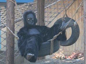 动物园真人扮猩猩 真人扮猩猩背后真实原因令人难以置信
