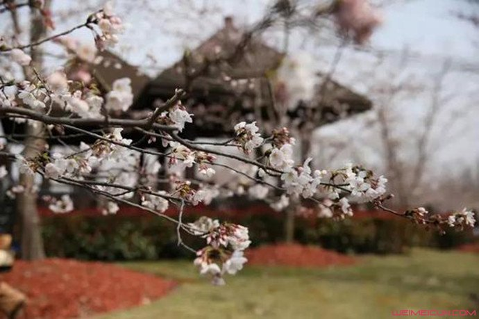 樱花树开满大妈