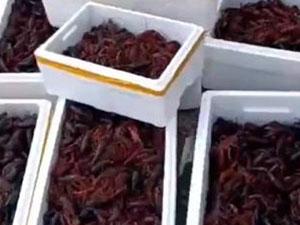 男子买小龙虾放生 放生小龙虾视频曝光放生