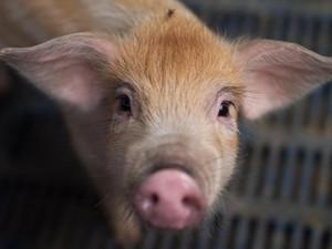 领养小猪做成罐头怎么回事 详细经过曝光一