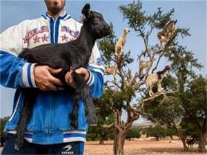 羊上树奇观被指造假 羊上树奇观形成原因竟