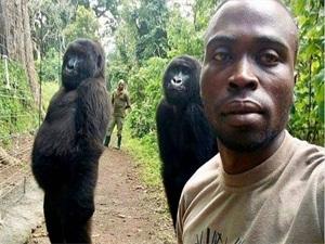 刚果大猩猩与管理员自拍 大猩猩自拍大摆姿势令人看傻眼