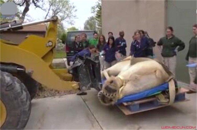 900斤北极熊做CT
