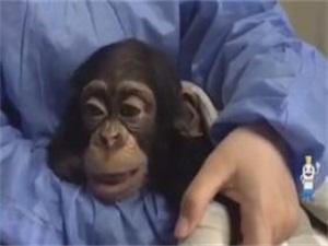 黑猩猩宝宝感冒拒吃药 饲养员和兽医当临时奶妈始末曝光