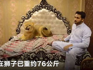小伙在家散养狮子 小伙在家竟与狮子同做这