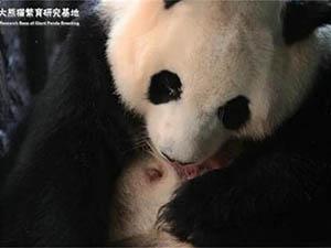 圈养大熊猫出生 具体详情曝光此画面感动了无数人