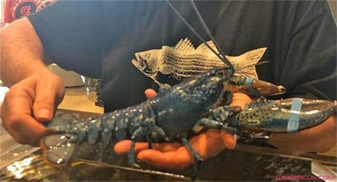 餐厅发现蓝色龙虾