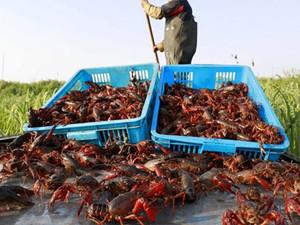 小龙虾被视为诅咒怎么回事 小龙虾为什么在埃及声名狼藉