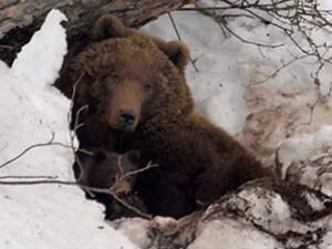 男子被熊拖进洞穴怎么回事 福大命大结果出