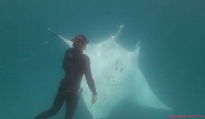 潜水遇魔鬼鱼求助