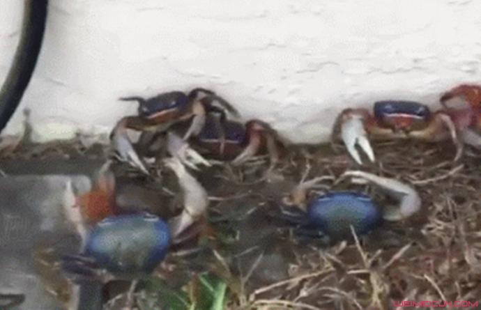 数百螃蟹闯入家中